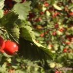 ягоды боярышника на дереве