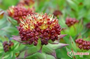 цветок родиолы розовой